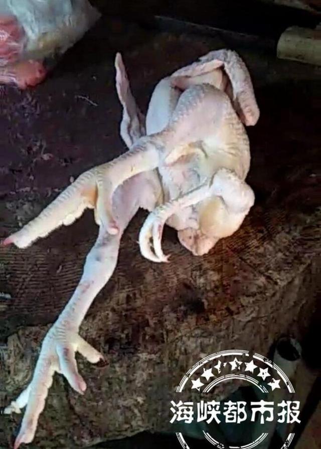 福州男子买回一群活鸡 其中一只竟有三只脚