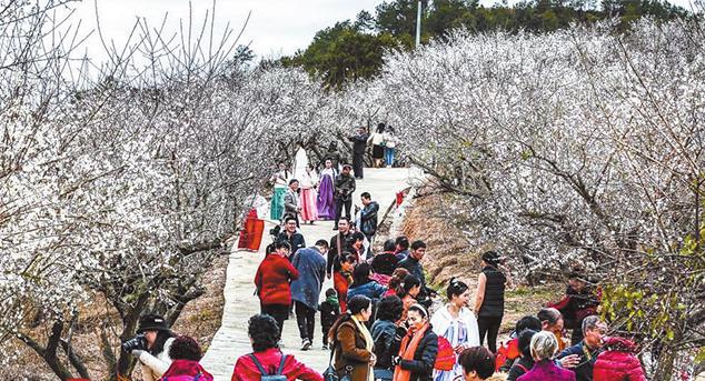 上杭的千亩梅花齐盛开 数千名游客慕名而来