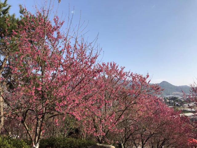 第七届樱花文化旅游节浪漫开幕