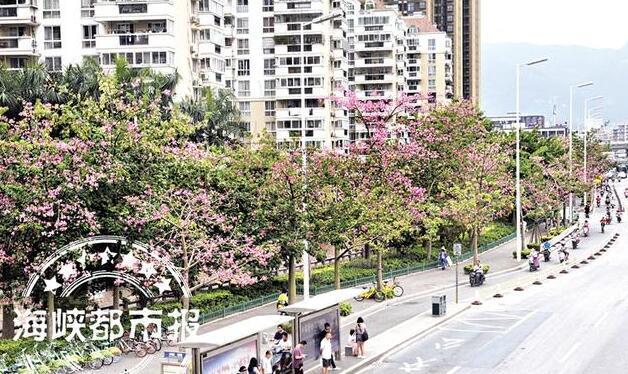 """福州""""美人树""""开花 粉色花街惊艳榕城"""