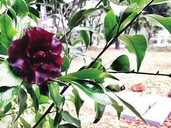 福州植物园15亩山茶园春节前开放