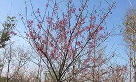 今天泉州海丝樱花园开园啦!
