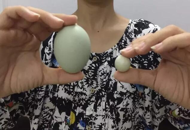 稀奇!漳州农户发现超级迷你鸡蛋 直径不到2厘米