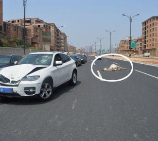 白色宝马引擎盖严重变形,公牛躺在车道上口吐白沫-宝马车撞公牛推高清图片