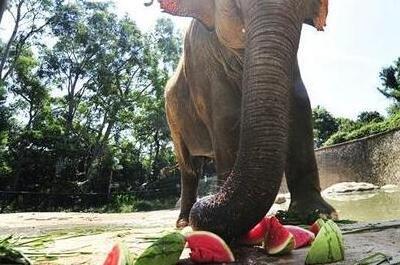 福州动物园每日用350斤西瓜给动物降暑