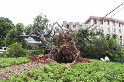 凡亚比袭厦 马巷地标500多岁的老榕树倒下了