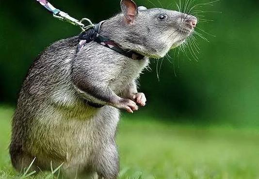 厦门男子下楼买东西 被老鼠攻击第二天直接进医院