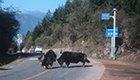 西藏偶遇牦牛野猪斗架