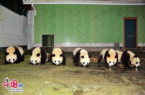 可爱国宝助威亚运 12只大熊猫将亮相广州