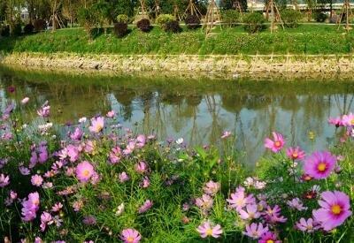 福州台屿河畔花如海 公园新姿待客来