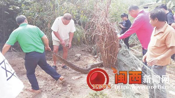 两条巨蟒蛇吞吃鸡鸭被抓 解救后重放野外