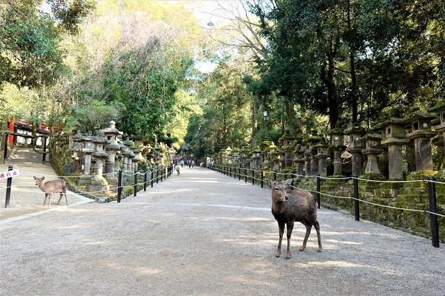 没喂到鹿又怎算来到奈良公园!