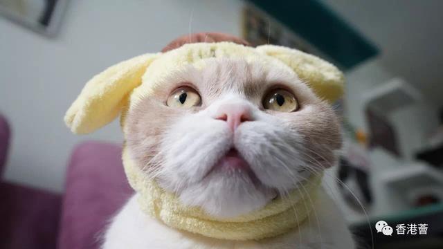 """猫奴注意!明星猫""""忌廉哥""""9月复出啦!"""