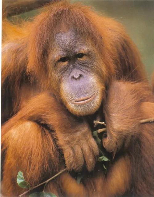 长隆黑猩猩家族被誉为最具智慧的动物家族,可以完成各项高难度益智