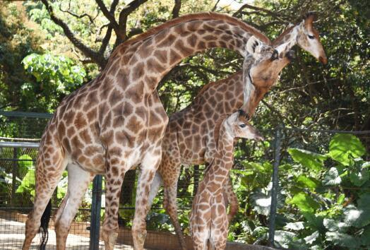 图为深圳野生动物园长颈鹿家族新添第8只长颈鹿宝宝 上午9时,在深圳野生动物园非洲之角了解到,这只长颈鹿宝宝是个男孩。为了让长颈鹿妈妈专心照顾宝宝,饲养员按排长颈鹿母子住一间房,饲养员每天打扫的时候都要把母子俩引到运动场。只见饲养员轻轻地推开笼舍两扇高大铁门,长颈鹿妈妈带着宝宝慢慢地走出间房。母子俩在运动场里相处得特别的亲密,妈妈时时观察着宝宝的一举一动,生怕它发生意外,很温情的场面。 长颈鹿展区主管余立君介绍,小长颈鹿目前很健康,小家伙活泼胆大。在动物园出生的小长颈鹿,一般情况下,出生三天后就会排