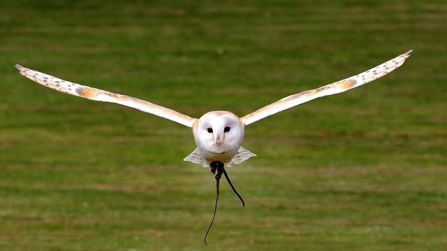 不可能轻易拥有的宠物——猫头鹰