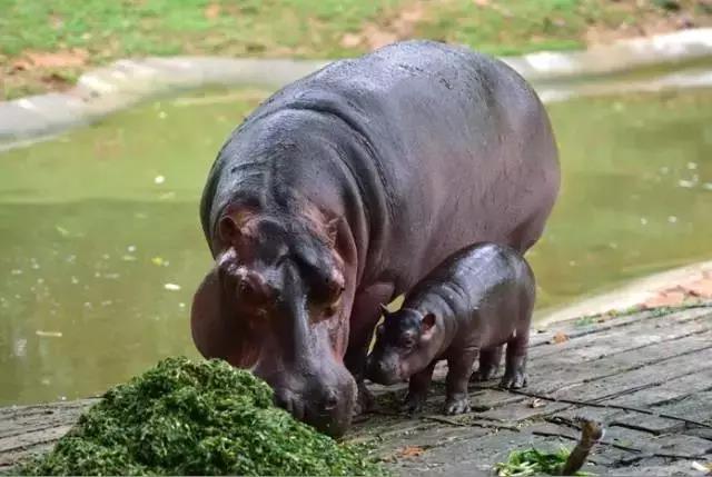 河马母子,摄于长隆野生动物世界