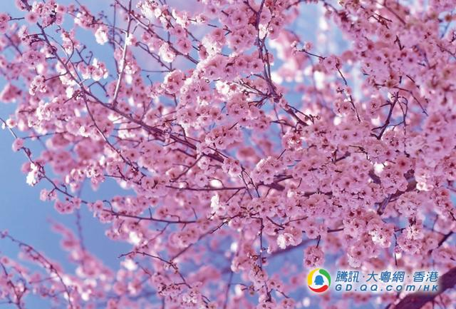 赏樱不用外游!明年在香港也能一尝赏樱乐