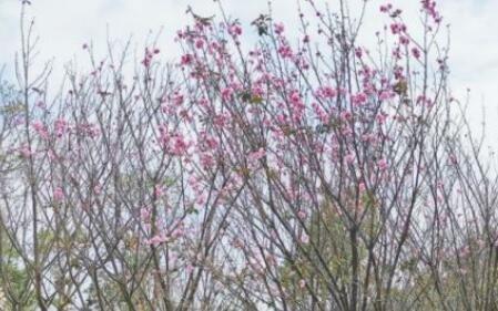 花都开好了 这道光明的风景线在你家附近吗?