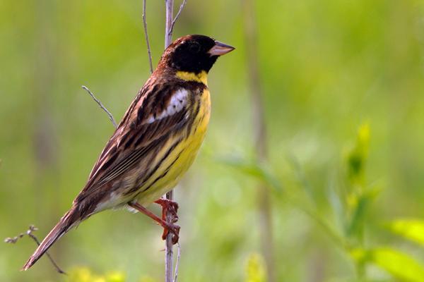 快将消失的小鸟——禾花雀