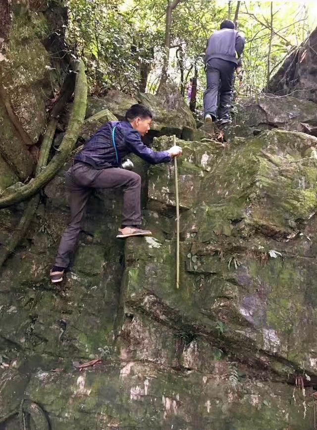 英德发现珍稀野生古树茶种群