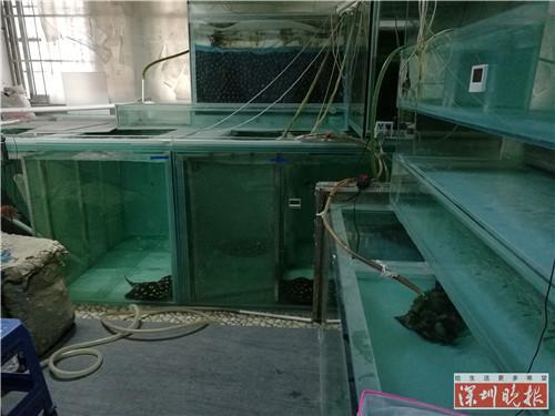 宝安一小区住宅放十几个鱼缸 全养的魔鬼鱼