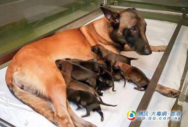 中国香港警队有喜 警犬妈诞11只宝宝