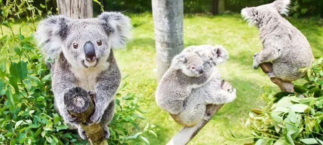 随着考拉双胞胎在广州长隆野生动物世界繁育成功,澳洲方派出了澳洲颇