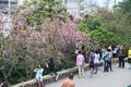 松山樱花近日盛放 吸引市民登山观赏