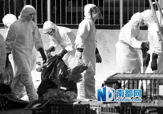 惠州供港活鸡检出H7N9 港扑杀近两万家禽
