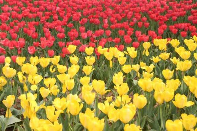 不用去荷兰!佛山高明600亩郁金香春节开放