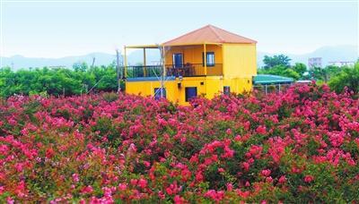 平沙紫薇花竞相绽放 花开富贵吸引游客前往观赏拍照