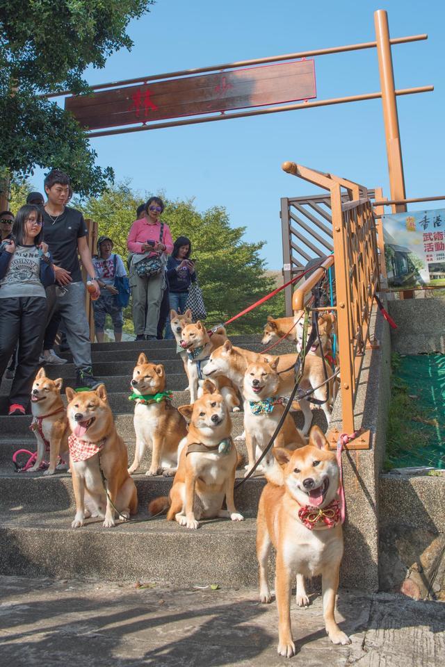柴犬拉大队在大澳举办萌宠狗仔派对