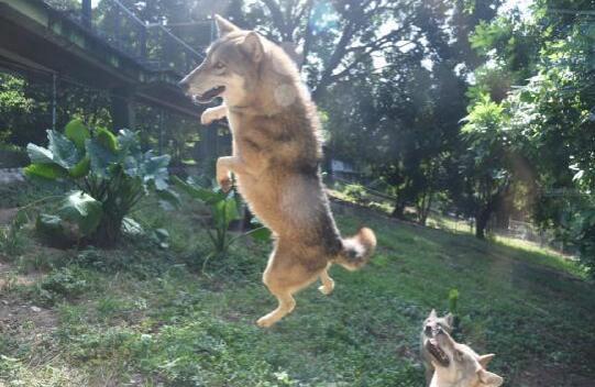 """深圳野生动物园群狼""""捕食""""提升健康指数"""