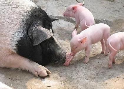 故意燃放鞭炮致114头猪崽死亡 云城破坏生产团伙被擒