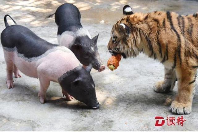 """""""猪入虎穴""""? 深圳动物园上演""""虎猪一家亲"""""""