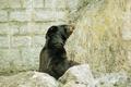 黑熊BOBO冬季搬迁石排湾新兽舍