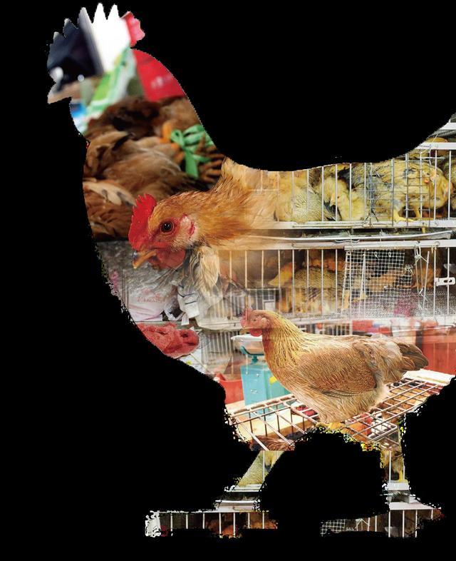 人禽分隔——切断禽流感 澳门食活鸡成绝响