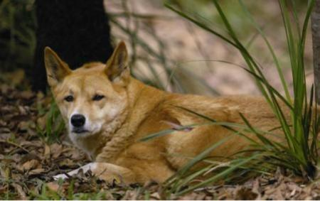 有着像狼一般的身手(图片来源:百度) 中文名:澳洲野犬、澳洲野狗、丁格 英文名:Dingo 学名:Canis lupus dingo 头体长:81-111厘米 肩高:40-65厘米 尾长:31厘米 体重:11-22公斤 *雄性体型比雌性大 *世界自然保护联盟红色名录列为:易危(VU)