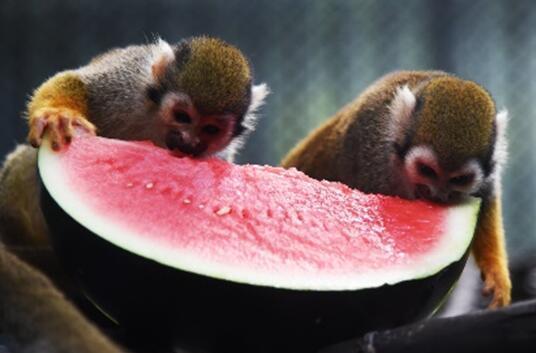松鼠猴吃着爽口又清甜的西瓜。 在深圳野生动物园里,动物们有着自己的消暑方式。水是它们消暑降温最直接的方法了。大象的降温制胜法宝就是它那长长的鼻子,一吸一卷一喷,酷热通通扫去。园内的狮子、熊、河马等很多动物都用这样的方式降温,它们室外活动场里都有私家泳池。 红毛猩猩毛毛可是动物园里的明星,它甚爱冰块。把冰块当作玩具,紧紧地抱在怀中享受冰块带来的凉爽。