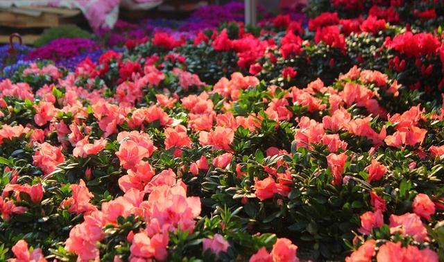 广东人过年为啥要逛花市?据说这些年花最受欢迎
