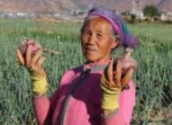 洋葱滞销愁坏了辛苦种地的农民