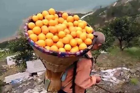 """是什么让秭归脐橙变身""""黄金果"""""""