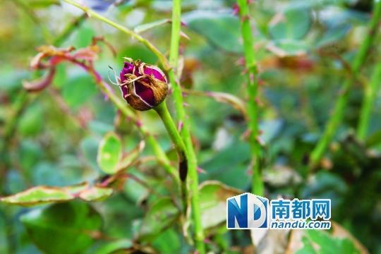 广州花都16亩60万朵玫瑰遭人投毒致枯死