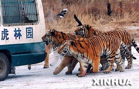 中国将设9个野生东北虎保护优先区