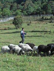 饲草绿肥的种植,解决了冬日饲草缺乏的问题,波多罗村的养殖业也在快速发展。