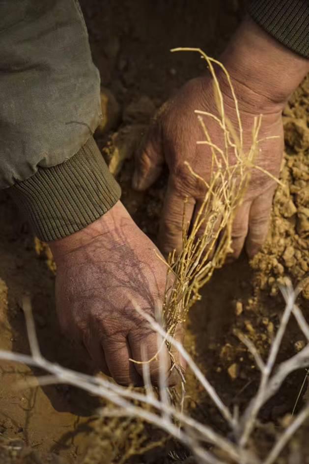 哇塞,仅一户牧民就种了9千亩地的梭梭树来防沙固土,为我们守住荒漠化最后一道防线!