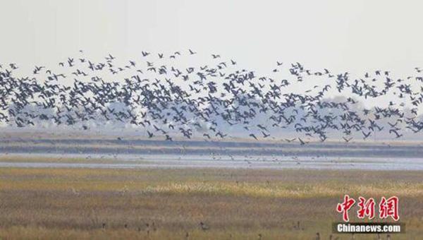 """吉林莫莫格湿地迎来""""候鸟风暴"""""""