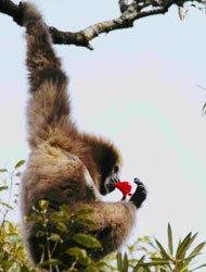 李家鸿亲眼看到生活在高黎贡山的2个白眉长臂猿家庭所发生的悲欢故事