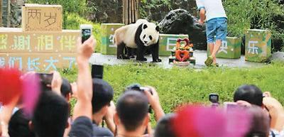 """直播平台使熊猫变""""网红"""" 一些熊猫因此显疲态"""